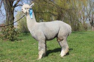 CH13-Precious-Royal-Grey-Saphir