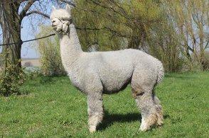 CH12 AOS Precious Royal Grey, genannt Saphir